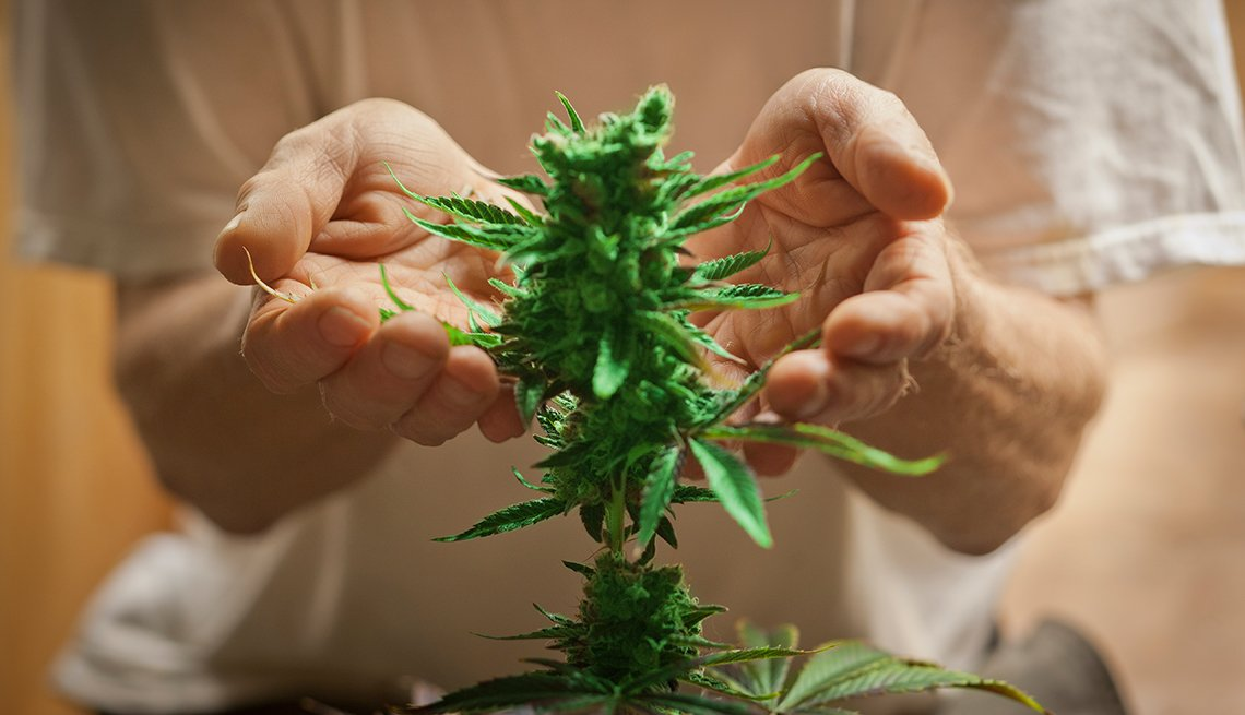 Marijuana Boosts Memory in Older Mice