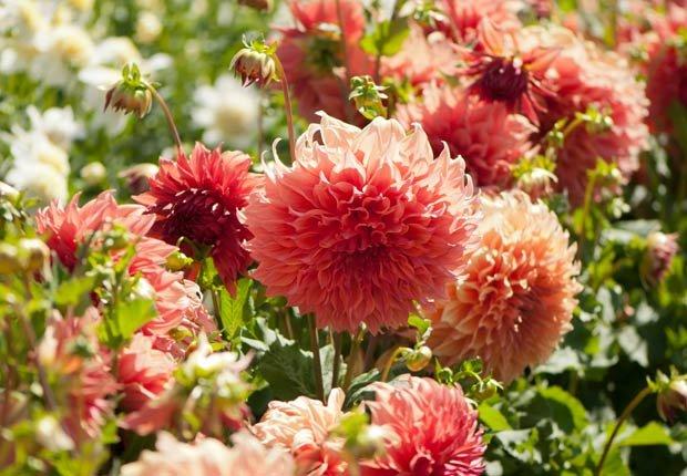 Dalias, Otoño-florecientes para Jardines