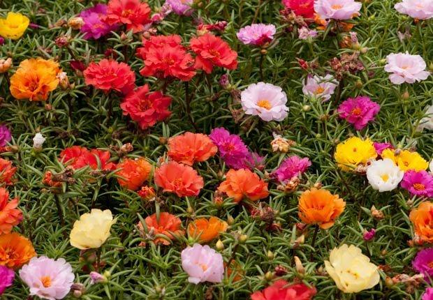 Portulaca, Otoño-florecientes para Jardines