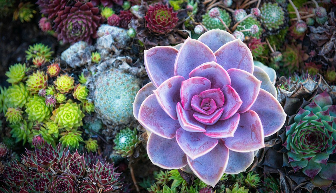 Drought-Tolerant Plants for Your Landscape: Succulent