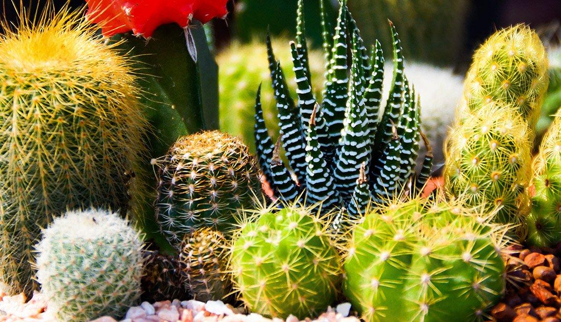 Drought-Tolerant Plants for Your Landscape:  Cactus