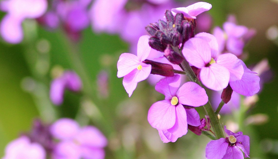 Drought-Tolerant Plants for Your Landscape:  Wallflower