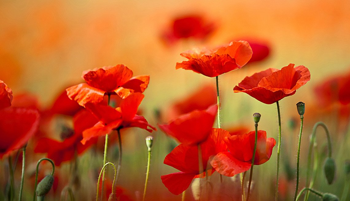Drought-Tolerant Plants for Your Landscape:  Poppy