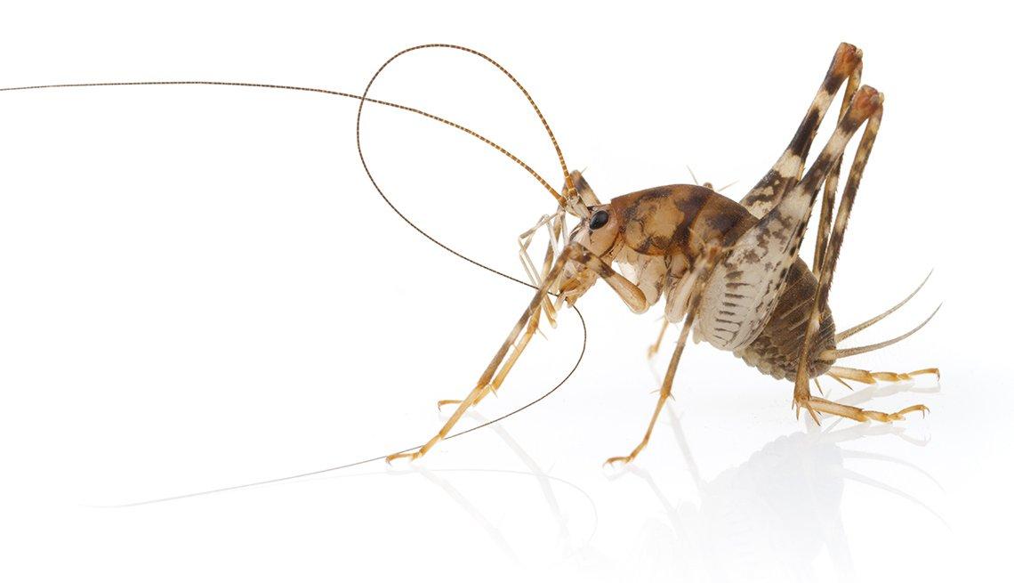 Tácticas para deshacerse de los insectos - Grillo