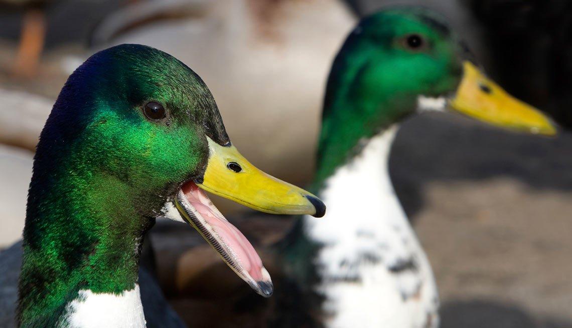 Imagen de dos patos - Becas universitarias inusuales