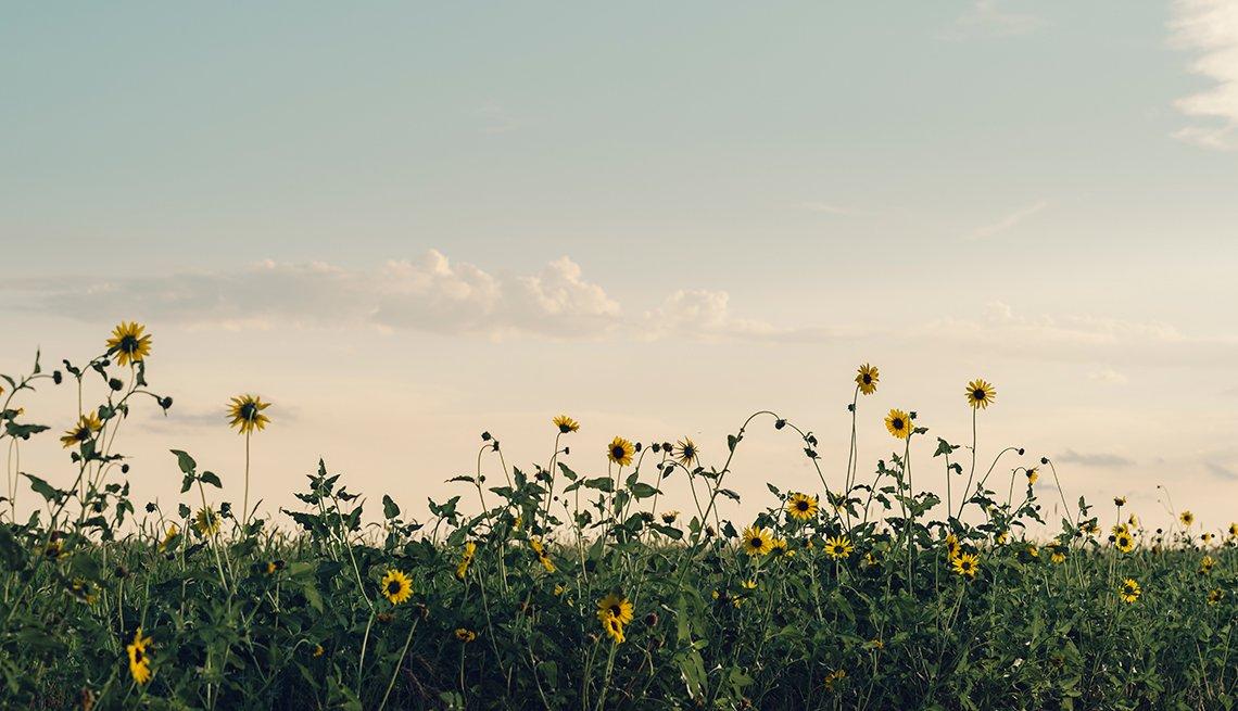 Nicodemus homecoming family reunion - A patch of sunflowers