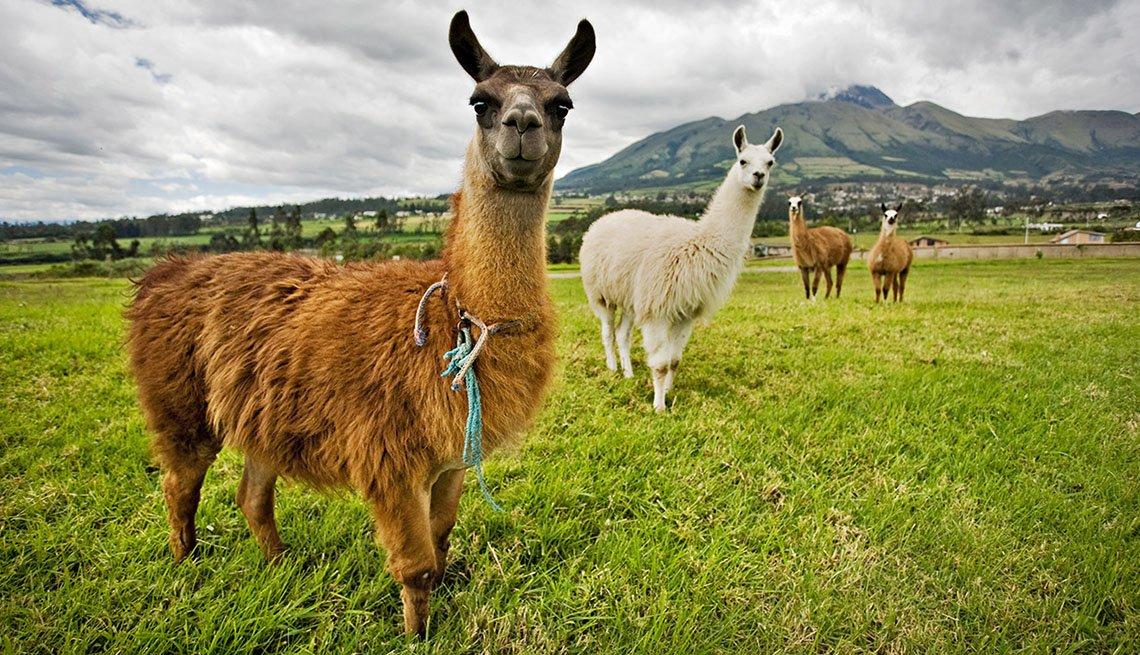 Lllamas Graze In A Field In Quito Ecuador, 10 Summer Destinations