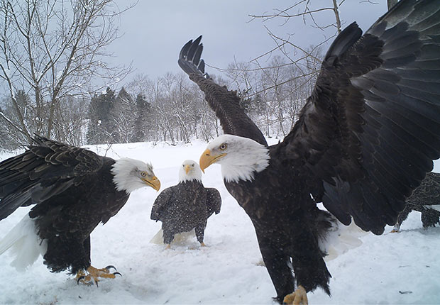 Eagles by Larry Dolhof. 2014 Calendar Contest Winners.