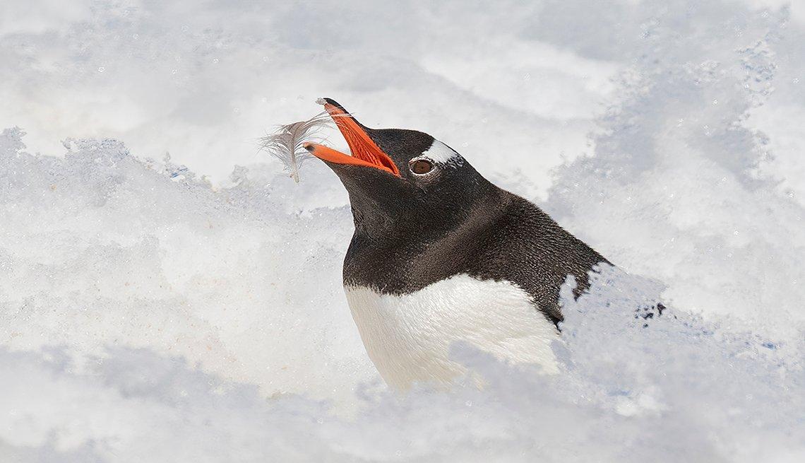 Gentoo Penguin Preening