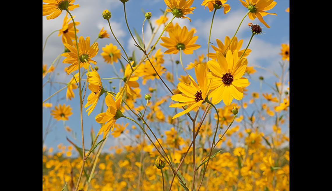 Narrowleaf Sunflowers