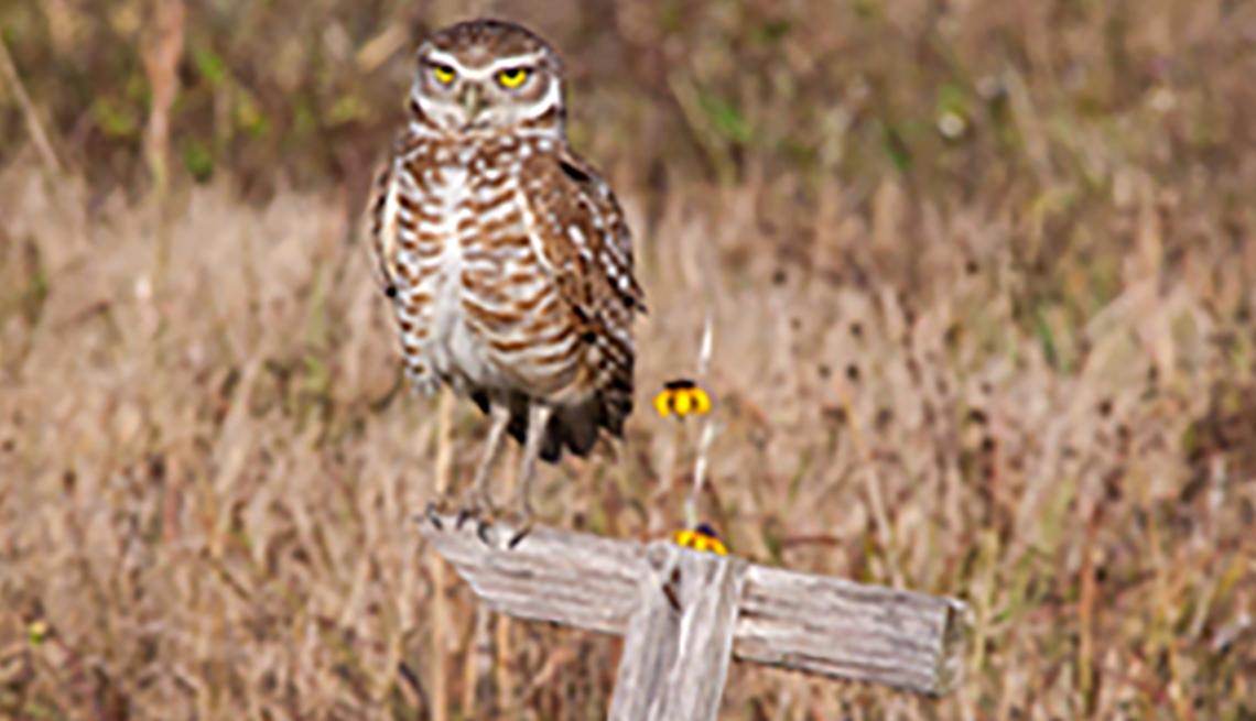 Tiny Burrowing Owl