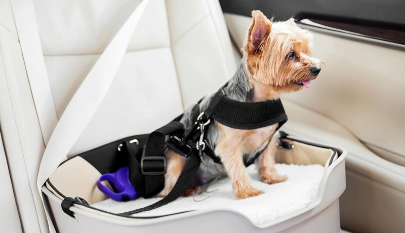 Little dog strapped into a car, Cars for Dogs