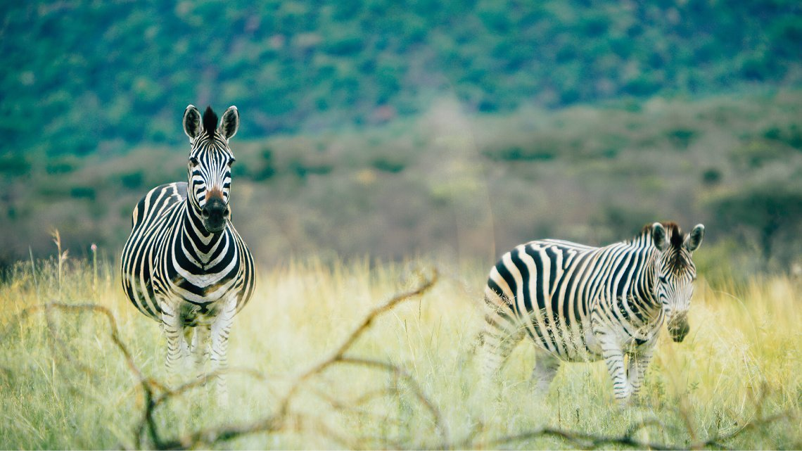 Two zebras standing in high grass
