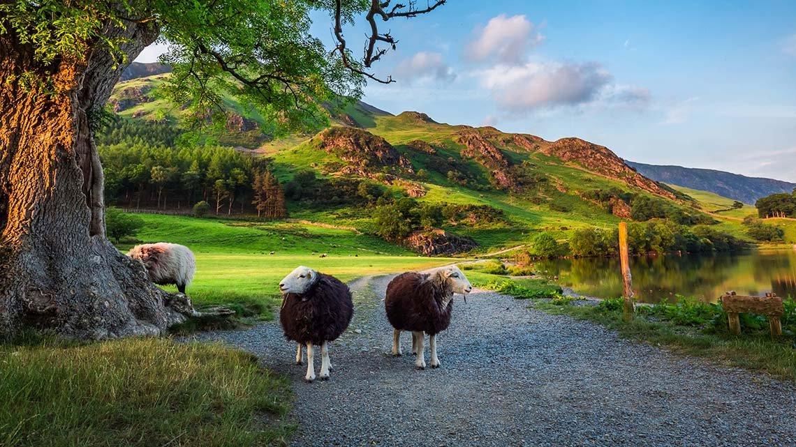 Two sheep on road near tree, pasture, lake, hills at sunset