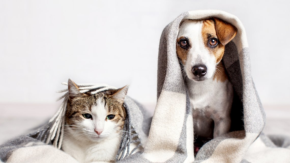 Cat, dog side by side, stretched out under blanket