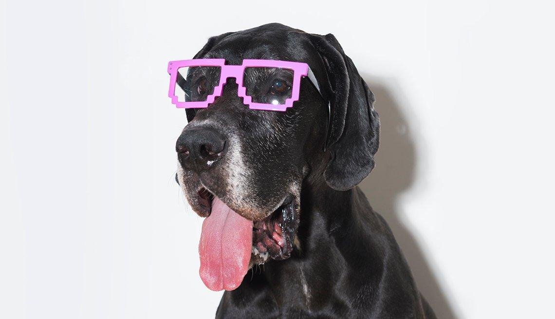 Large black dog wearing funny pink glasses