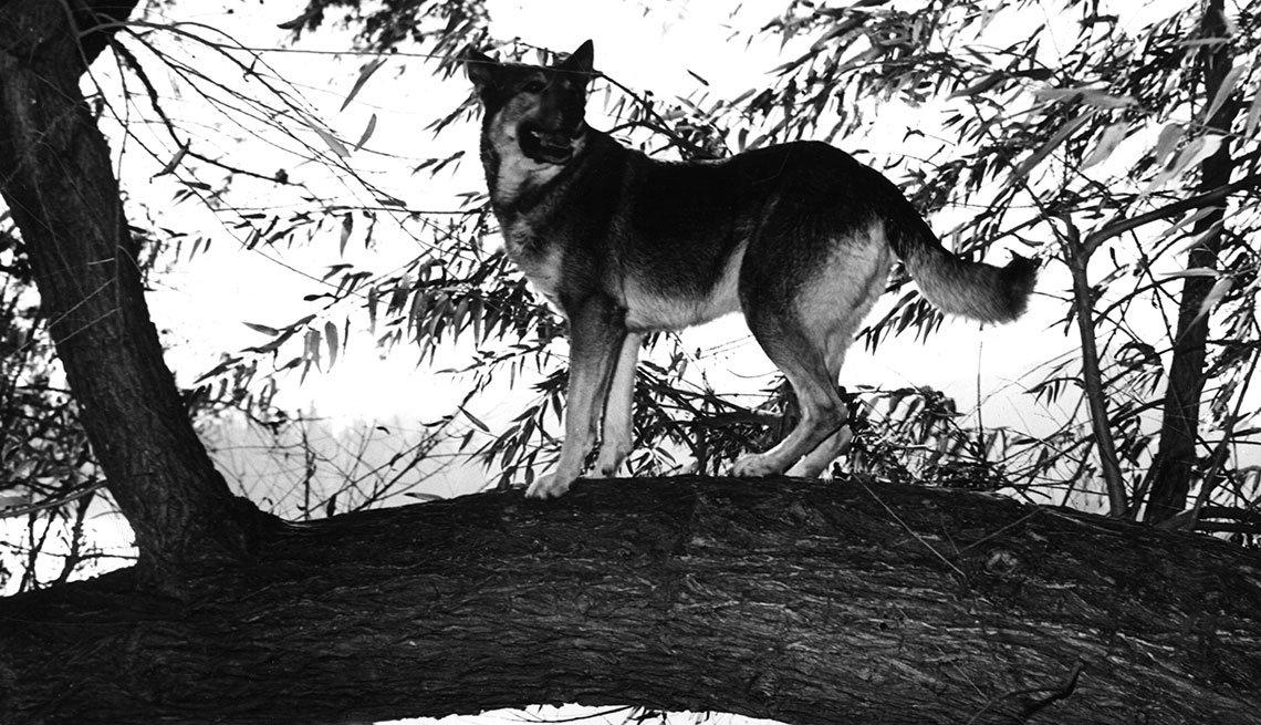 Animales estrellas de cine y TV - El pastor alemán Rin Tin Tin