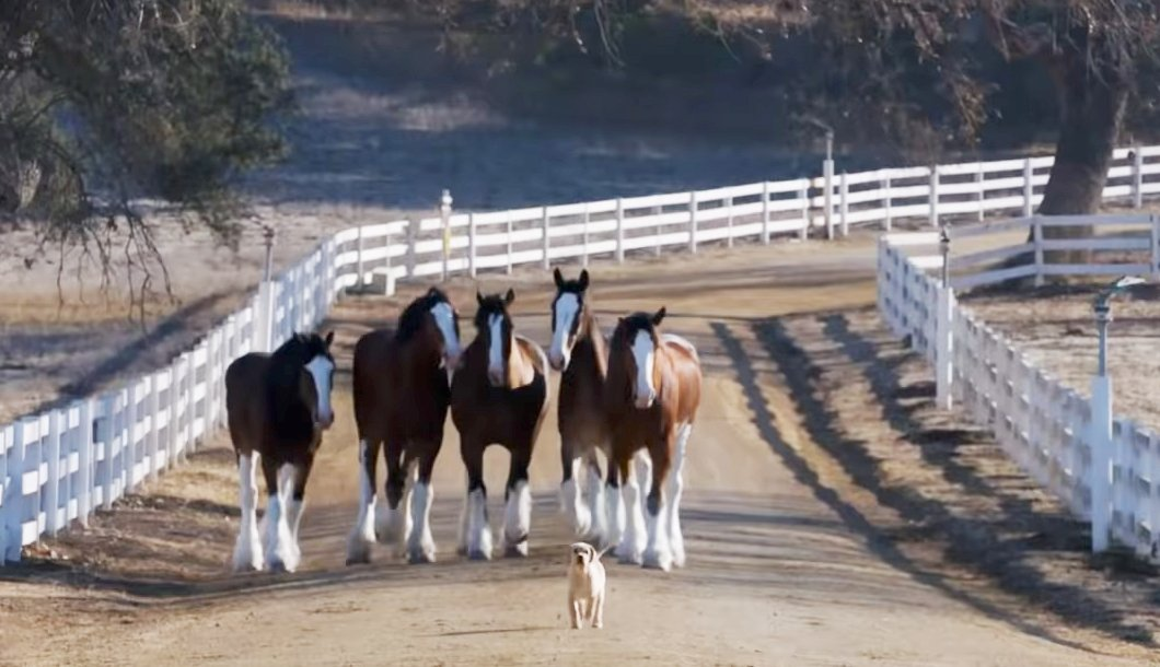 a puppy runs up a picturesque dirt farm road with five clydesdale horses running behind him