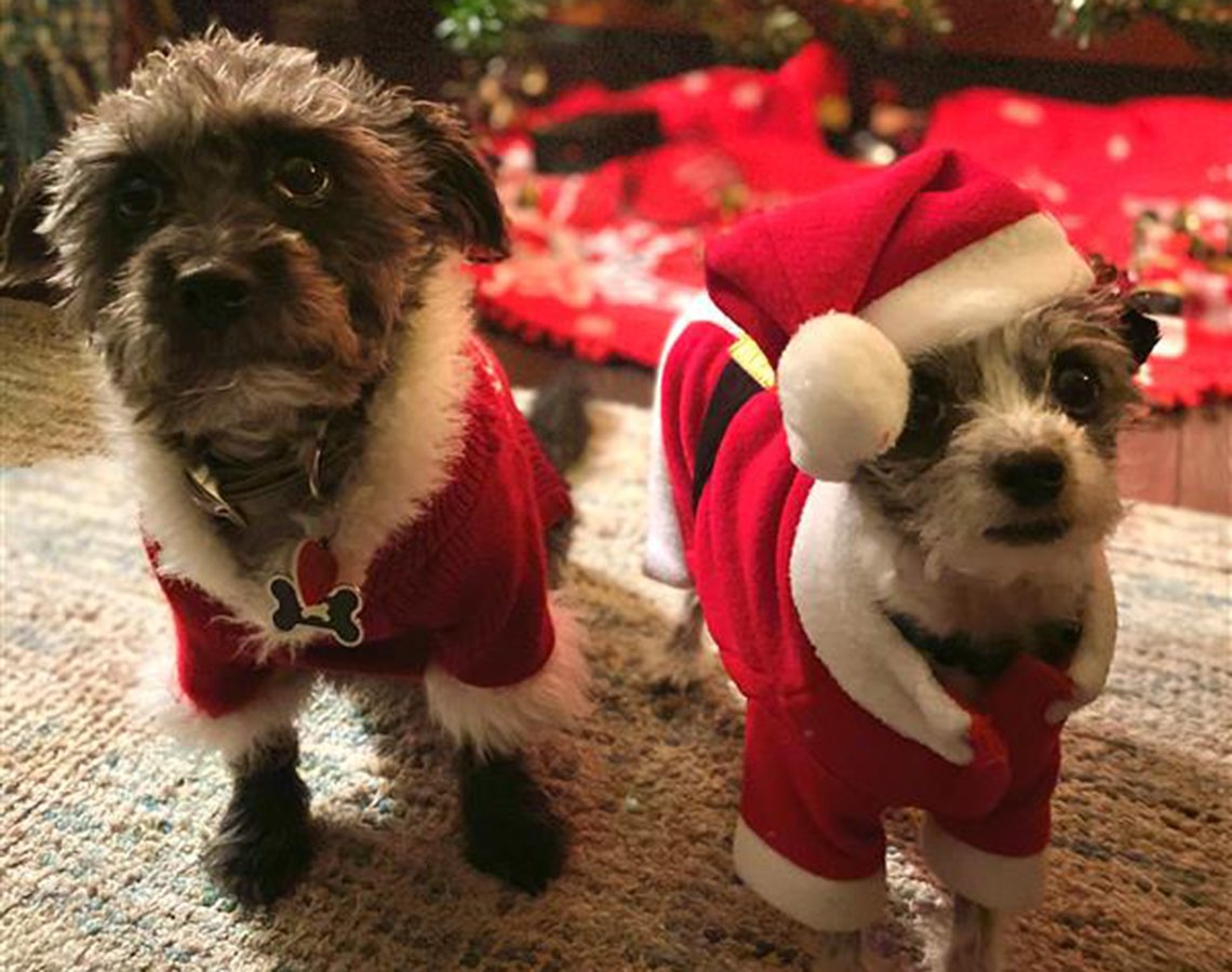Elizabeth's rescue dogs wearing santa clause jackets