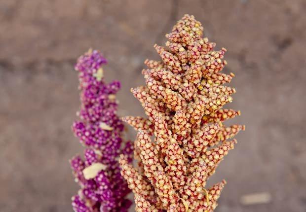 Lilac - 10 tipos diferentes de Quinoa