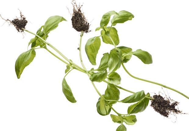 Albahaca - 16 Alimentos para una vida larga y saludable