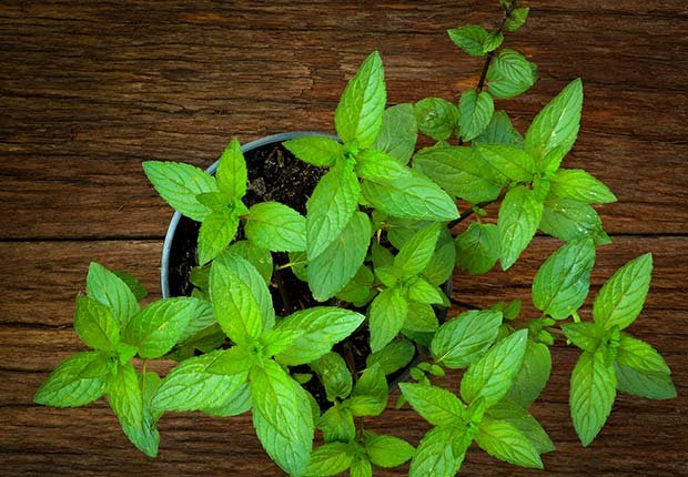 Mint, 9 Staple Herbs and Spices