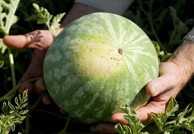 Datos curiosos sobre los melones