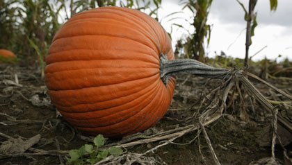 Pumpkin in field, close-up