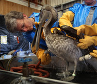 pelican being cleaned of oil