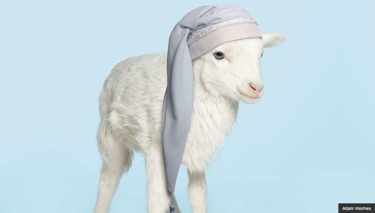Sheep with sleeping cap on