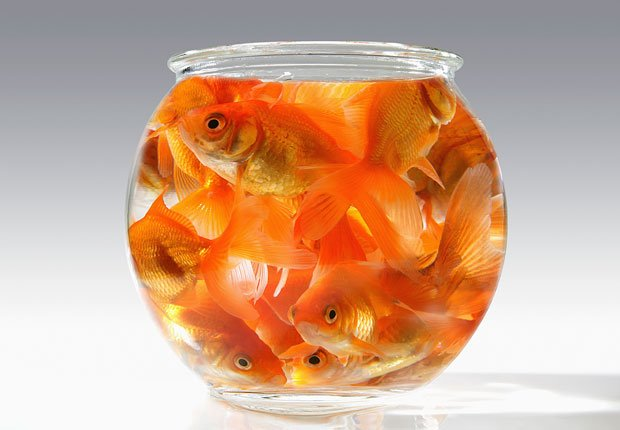 Goldfish in a small bowl
