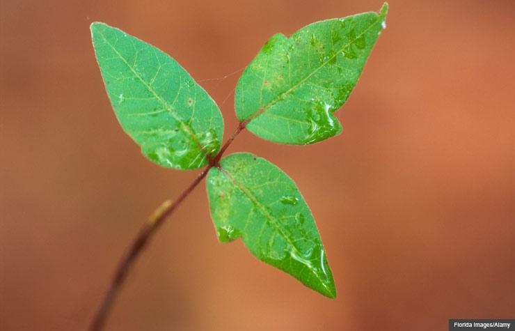 Hojas de Poison Ivy - Trivia - Cómo prevenir y aliviar la alergia causada por la hiedra venenosa