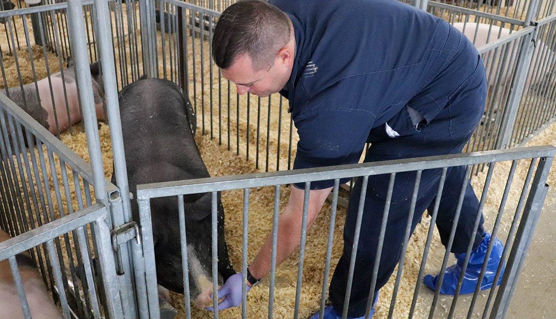 El Dr. Andrew Bowman limpia un hocico de cerdo en la feria del condado de Union, Ohio