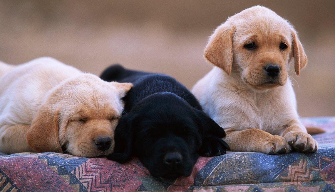 Tres cachorros de la raza labrador
