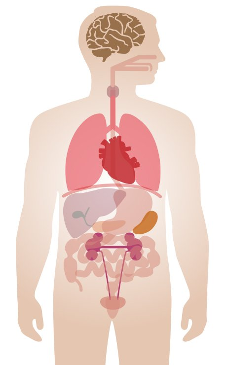 unlabeled graphic of human body internal organs