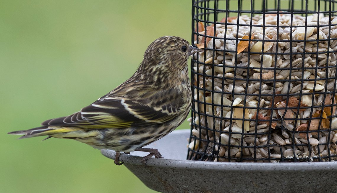 A male pine siskin looks over the selection of sunflower seeds in a backyard bird feeder