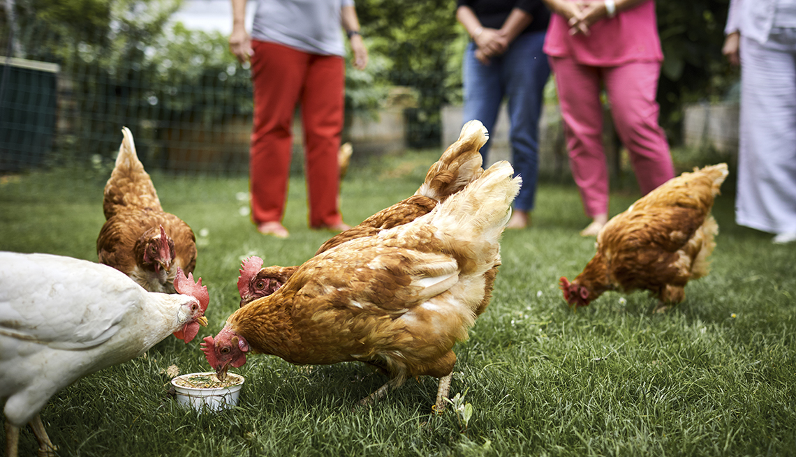 backyard chickens eating out of a cup, a group of people stand behind them