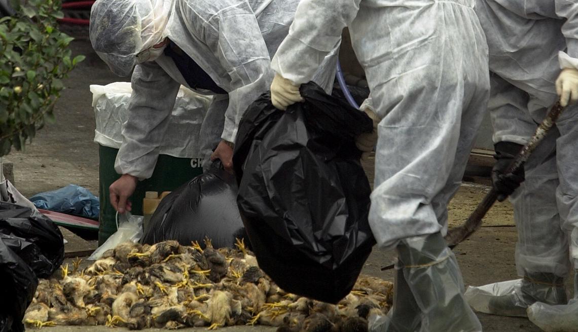Aves muertas y personas recogiendo sus restos