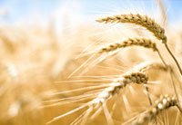 a field of wheat - the truth about gluten