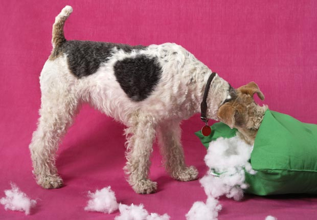 Dog tearing pillow apart, Dispose old pillows