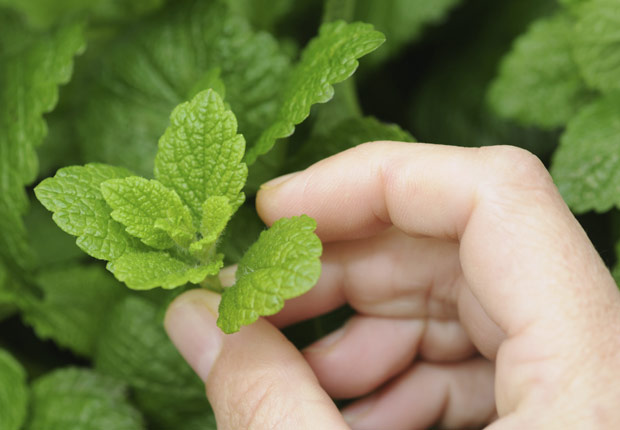 Mint in a garden. Use mint, cilantro and dill in gardens instead of pesticides. (Andrew Simpson/Istockphoto)