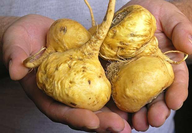 Mano sosteniendo unas raíces de maca - Hierbas y especias podrían equilibrar las hormonas