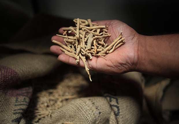 Mano sosteniendo jengibre indio - Hierbas y especias podrían equilibrar las hormonas