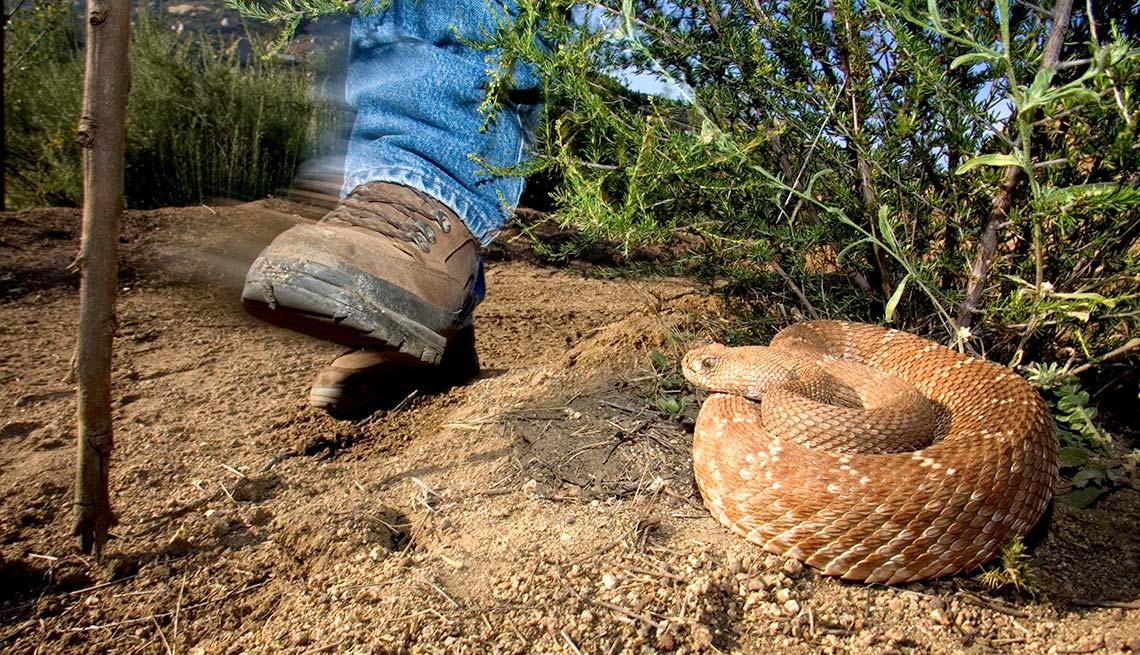 Hiker passes a coiled snake, Summer Survival Guide, Snake Bite Hike Venom