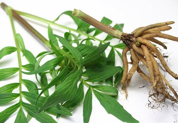 Raíz de valeriana - Alimentos que alivian