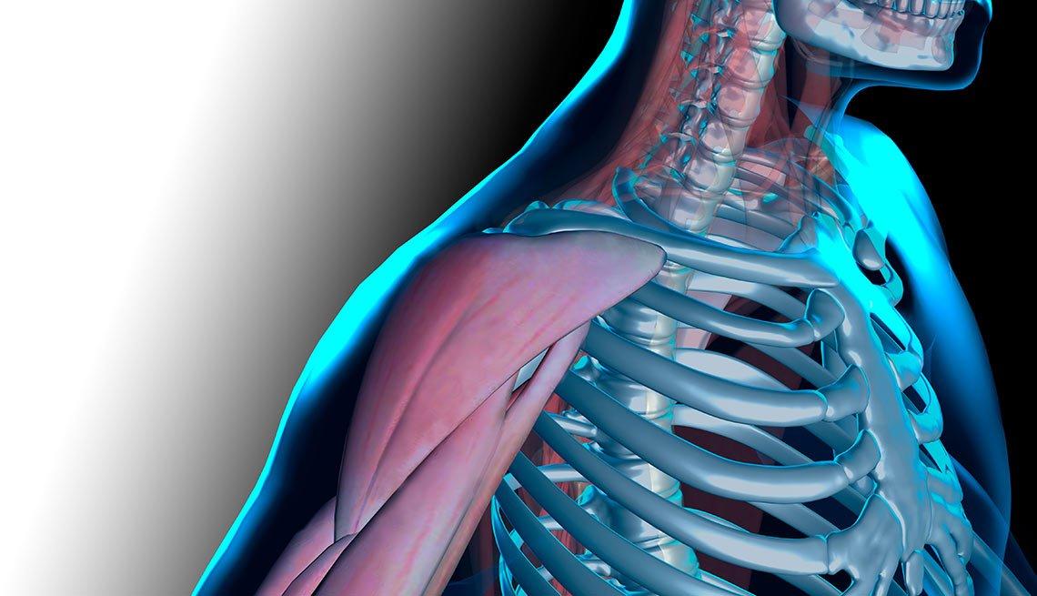 Ilustración del hombro y el brazo