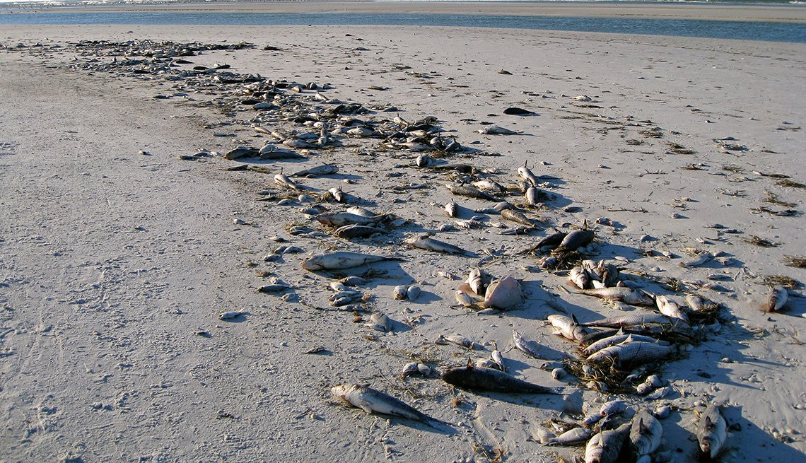 Hundreds of dead fish from the Gulf of Mexico killed by a red tide are washed up on Siesta Beach at Sarasota, Florida, USA.