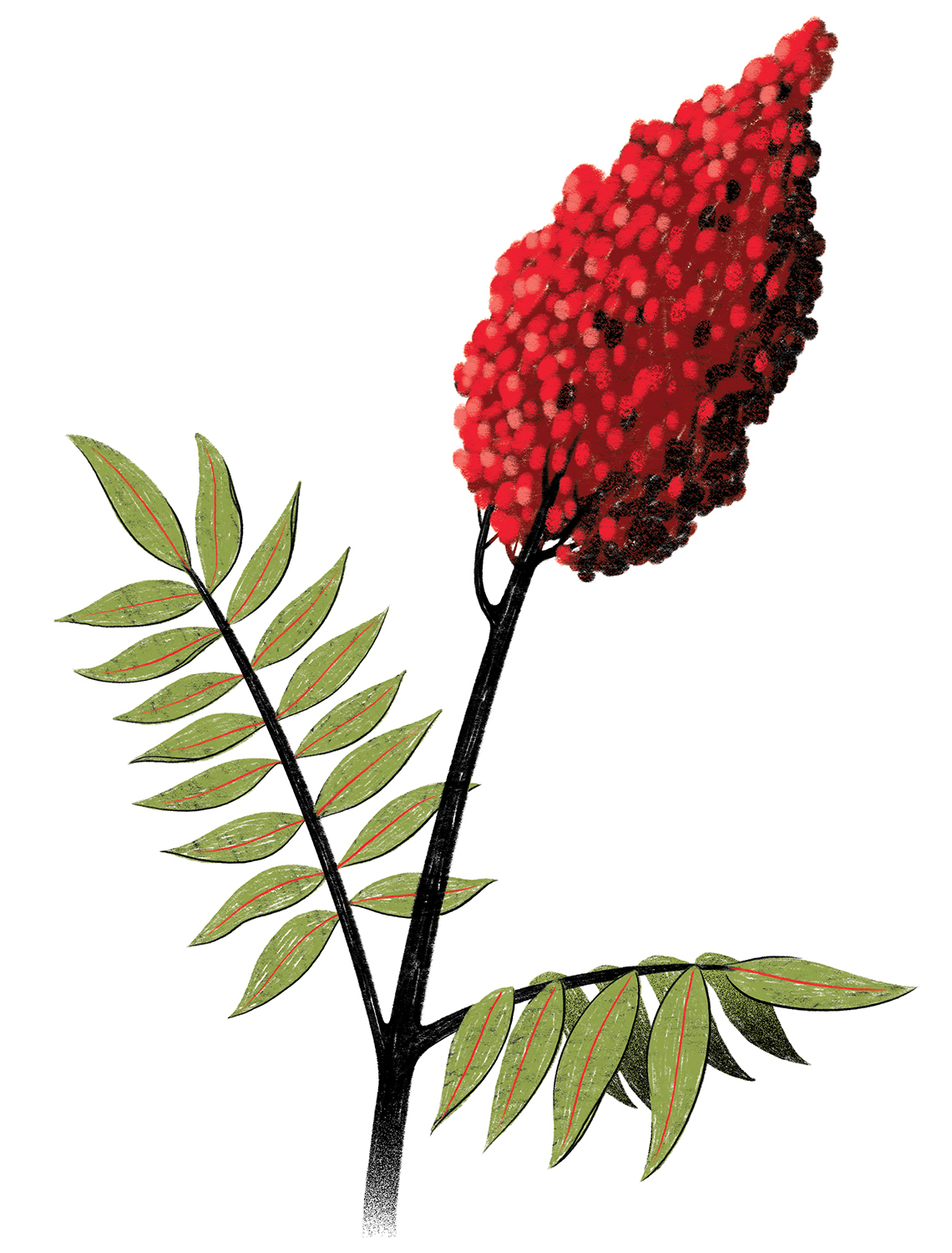 An illustration of a sumac plant