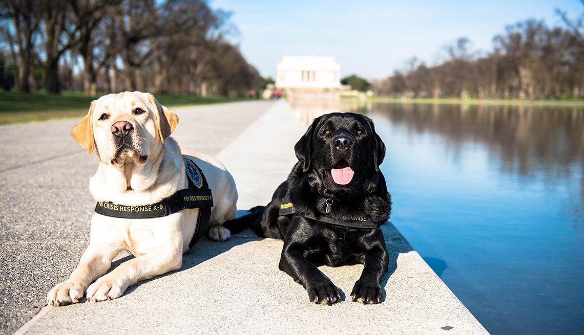 Wally, el labrador amarillo, y Gio, el labrador negro descansan al lado de un monumento en Washington, DC