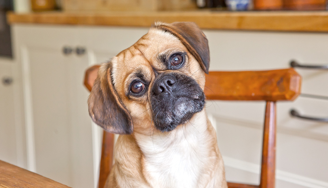 Pug Sits In Kitchen Chair With Tilted Head, AARP Home And Family, Get A Dog After 50